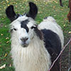 Izzy the llama is a very curious creature.  She loves to come up close and inspect you and your camera!