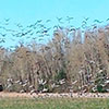 Thousands of geese and sandhill cranes lift off from one of the farm fields