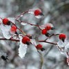 Rosehips in ice